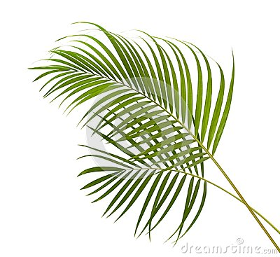 Free Yellow Palm Leaves Dypsis Lutescens Or Golden Cane Palm, Areca Palm Leaves, Tropical Foliage Isolated On White Background  Stock Photo - 109056580