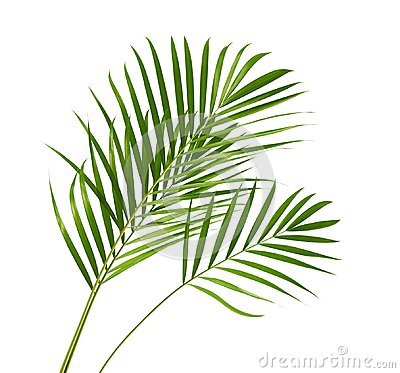 Free Yellow Palm Leaves Dypsis Lutescens Or Golden Cane Palm, Areca Palm Leaves, Tropical Foliage Isolated On White Background Royalty Free Stock Photography - 119314387