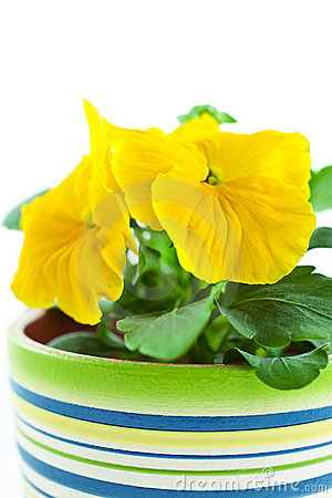 Yellow pansy s sprout in ceramic pot