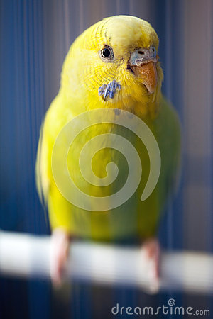 Yellow parrot