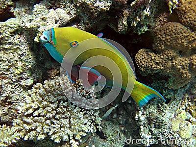Yellow parrotfish