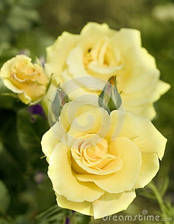 Yellow pastell coloured rose.