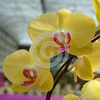 Yellow Phalaenopsis (Orchid)