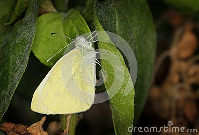 Yellow Pieris Brassicae Butterfly