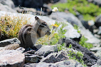 Yellow-pine Chipmunk on Mount Rainier