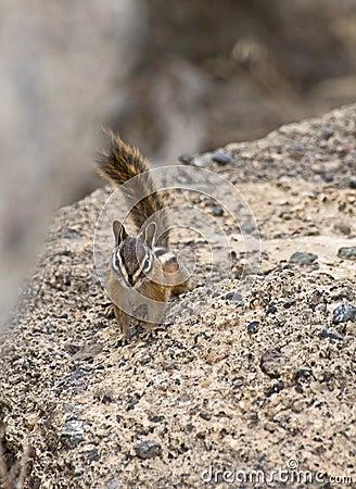 Free Yellow-pine Chipmunk On Rocks Stock Photos - 26611553