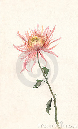 Free Yellow-pink Chrysanthemum Watercolor Painting. Stock Photo - 4363330