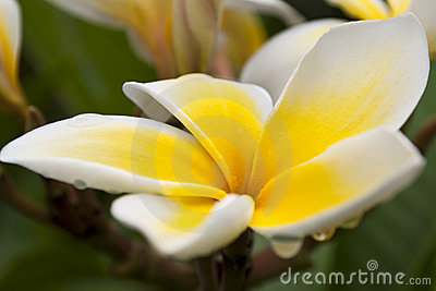 Yellow Plumeria with Rain Drops