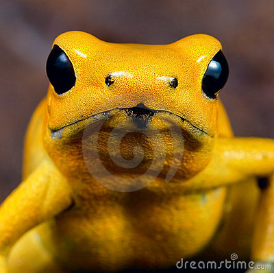 Yellow poison dart frog poisonous animal