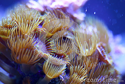 Yellow Polyp Sea Mat Coral