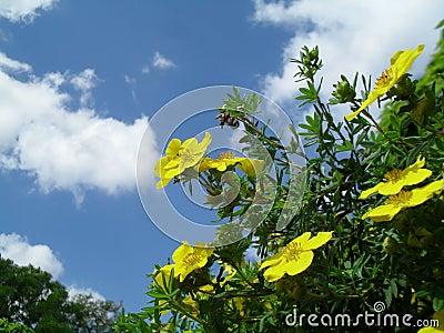 Yellow potentilla fruticosa