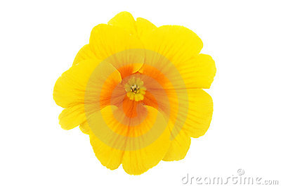 Yellow Primrose Stock Photos - Image: 13913513