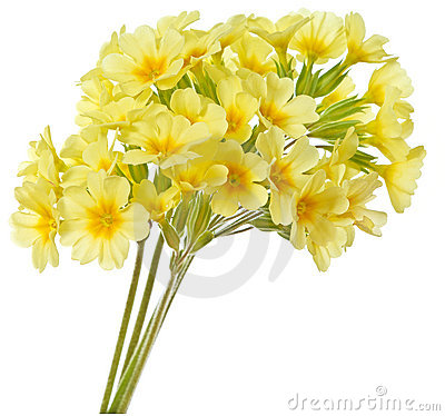 Free Yellow Primrose Stock Images - 19320194