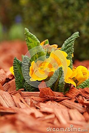 Yellow primulas (Primula hortensis)
