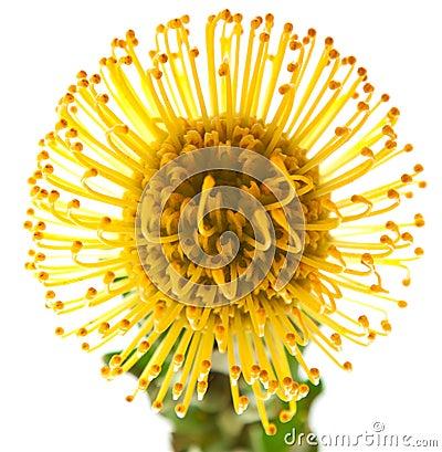 Free Yellow Protea Royalty Free Stock Photos - 30684378