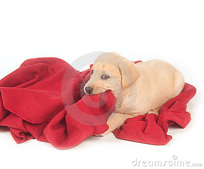 Yellow puppy and red blanket