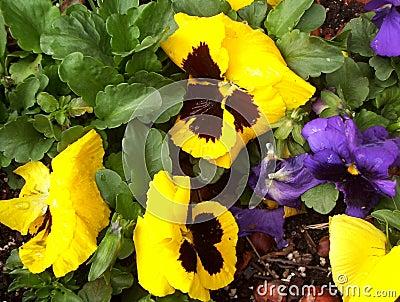 Yellow & Purple Pansies