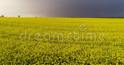 Yellow rape field in the spring. Drone shot of blooming field, yellow rape,cloudy skies. Spring rapeseed field with wavy abstract. Volyn region, Ukraine. Drone stock video footage