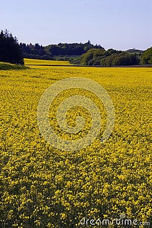 Free Yellow Rape Fields Stock Images - 1211194