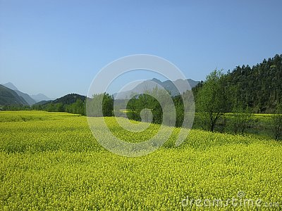 Yellow rape flower