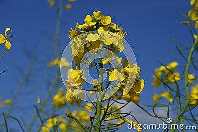 Yellow rape plant under blue sky