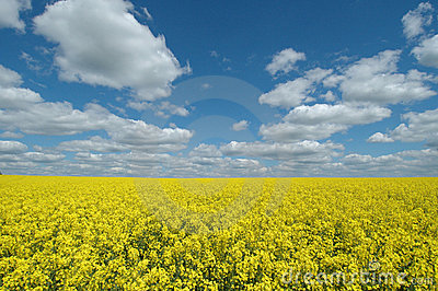 Yellow seed field Stock Photo