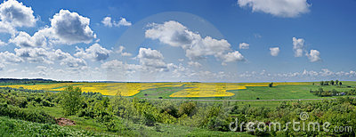 Yellow rapeseed field. Summer landscape.