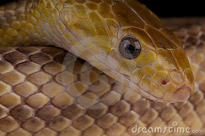 Yellow ratsnake