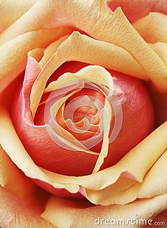 Free Yellow Red Orange Rose Petals Royalty Free Stock Images - 19652679