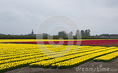 Yellow and red tulip fields in North Holland