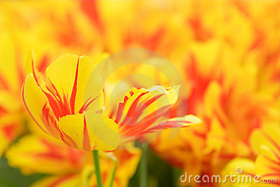 Yellow red tulip in a flower bed