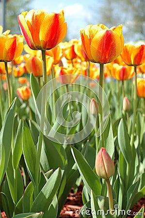 Yellow-red tulip flowers.