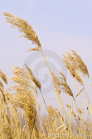 Free Yellow Reed Royalty Free Stock Images - 4820239