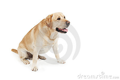 Yellow Retriever Labrador Dog