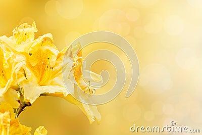 Yellow rhododendron azalea