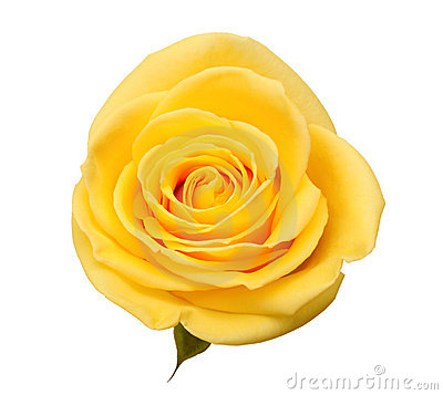 Free Yellow Rose Royalty Free Stock Photo - 17946545