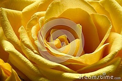 Yellow Rose 3