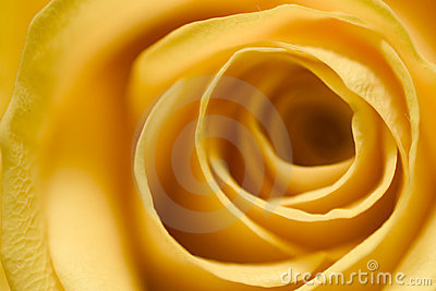 Yellow Rose 4