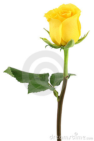 Free Yellow Rose Stock Photos - 7307993