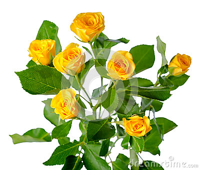 Yellow rose bush flowers isolated