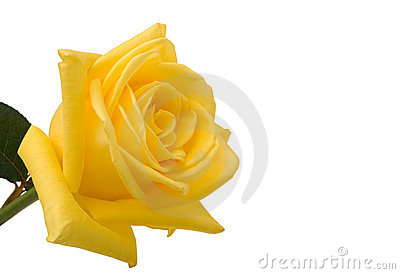 Yellow rose closeup with white