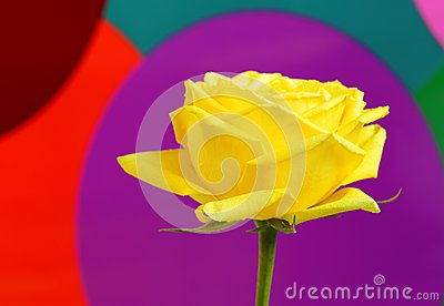 Yellow rose on colorful background