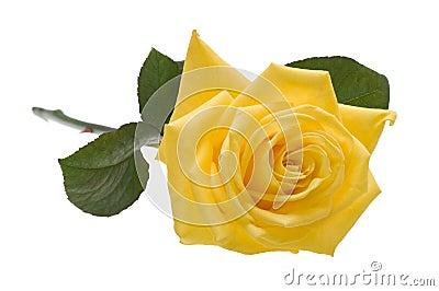 Yellow rose cutout