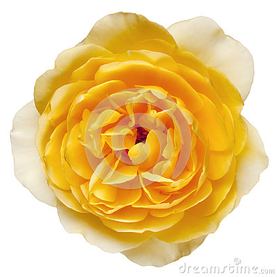 Yellow Rose with Path Isolated