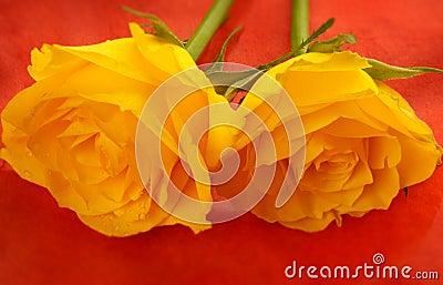 Yellow roses on flame orange b