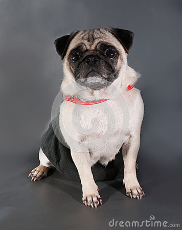 Yellow sad pug in red collar sitting on black