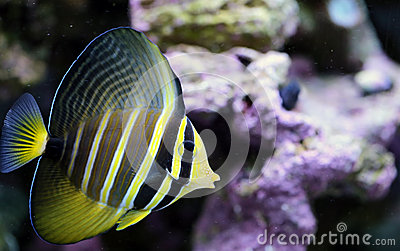 Yellow Sailfin Tang in Saltwater Reef