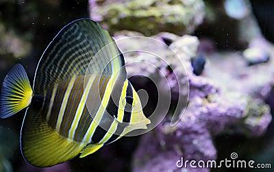 Yellow Sailfin Tang in Saltwater Reef