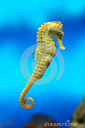 Free Yellow Sea-horse Royalty Free Stock Photography - 21688447