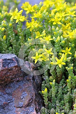 Free Yellow Sedum Acre (Goldmoss Stonecrop) Stock Photography - 25343612